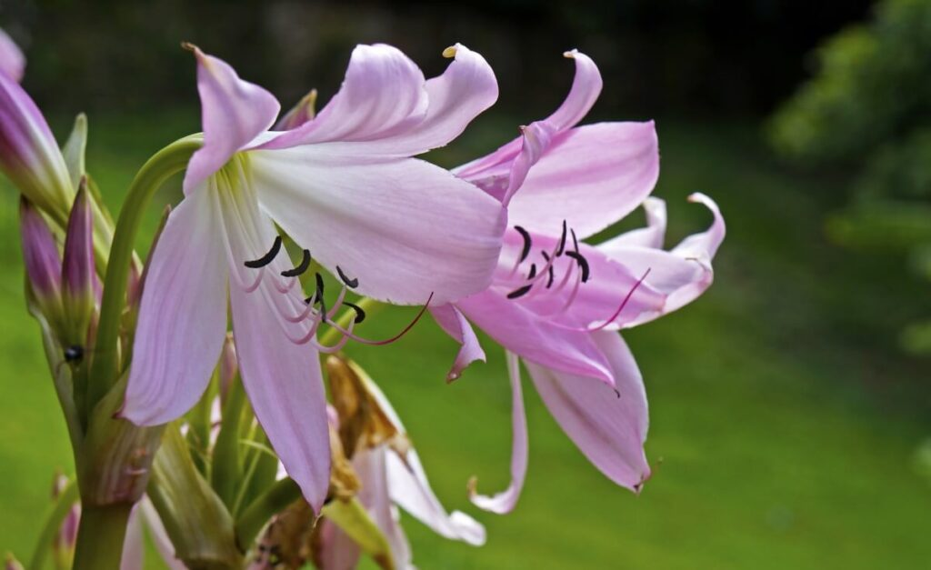 Common Amaryllis Belladonna Problems and How to Treat Them