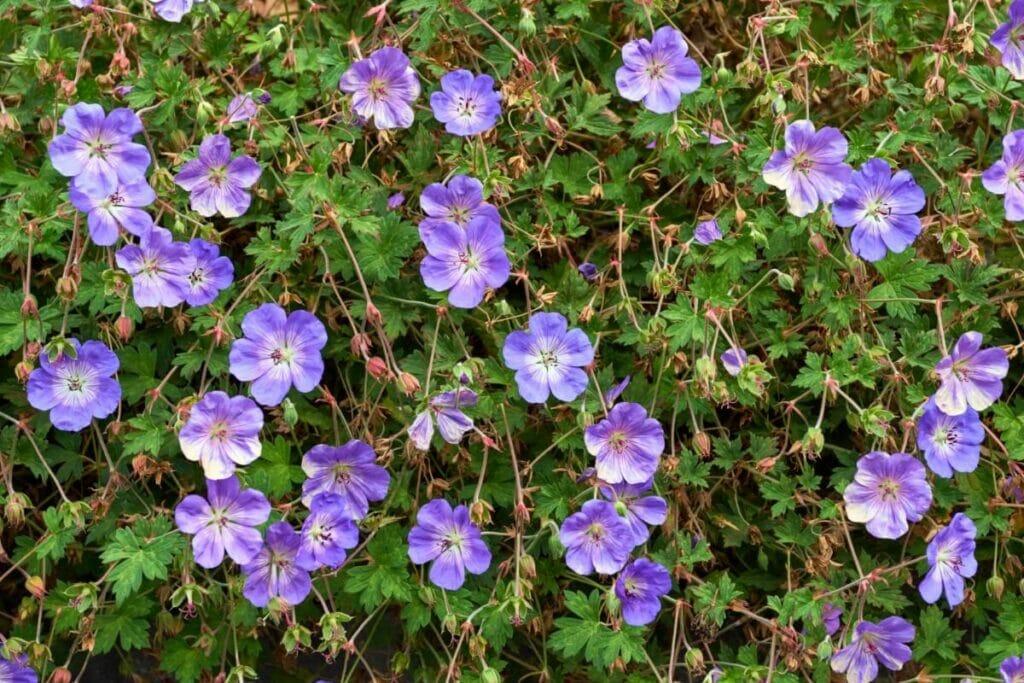 Common Geranium Rozanne Problems & How to Treat Them