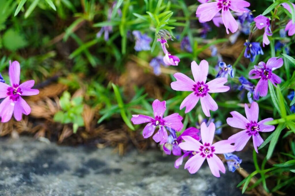 Common Phlox subulata Problems and How to Fix Them