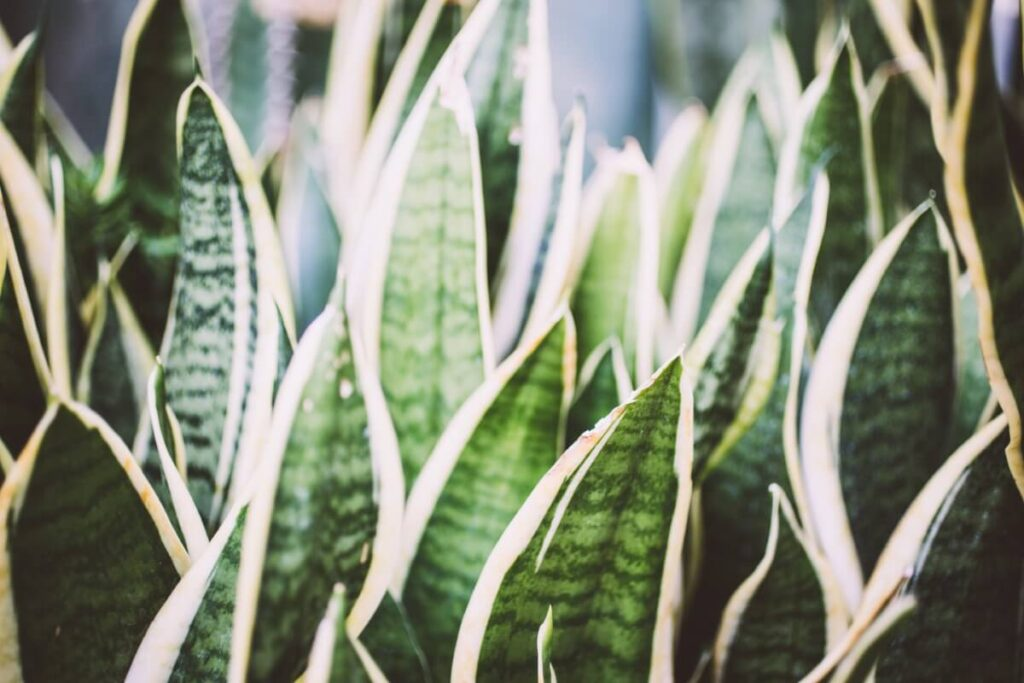 Common Snake Plant Problems, Pests, and Diseases