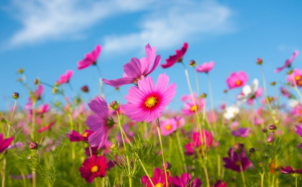 Cosmos Flowers in Myths and Folklore