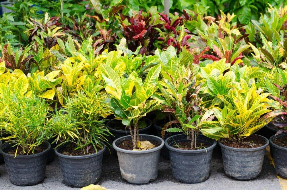 Croton Plant Care & Maintenance Requirements