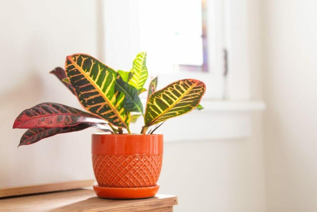 Croton Plant Light Preferences