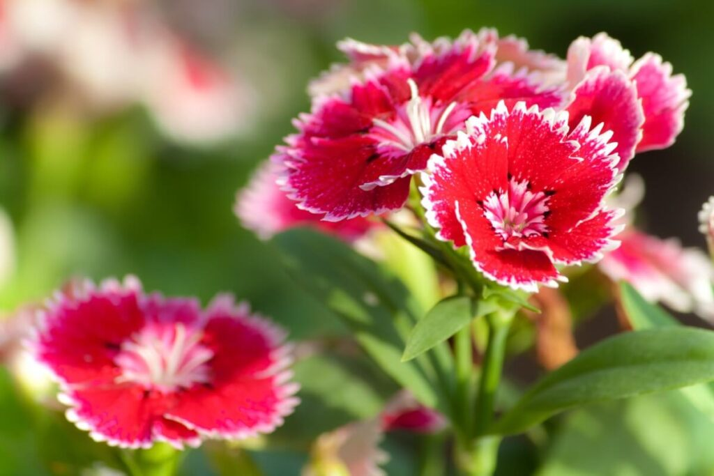 Culinary Uses of Dianthus Flowers
