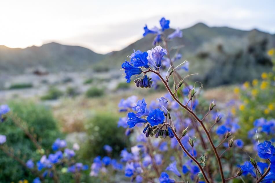 Desert Bluebells (Phacelia campanularia)