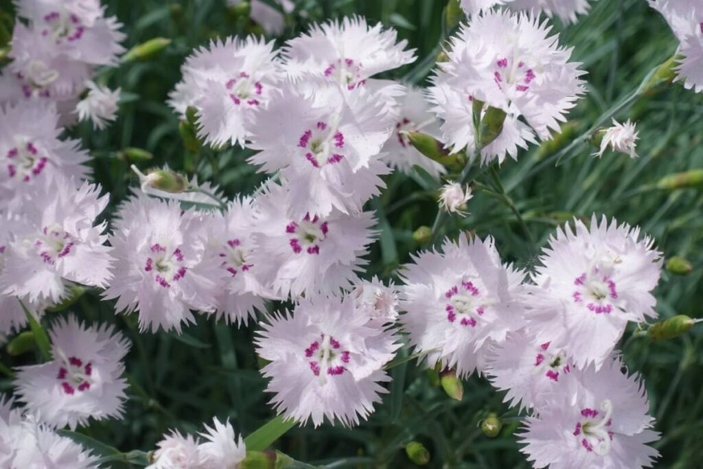 Dianthus Flowers in Christianity