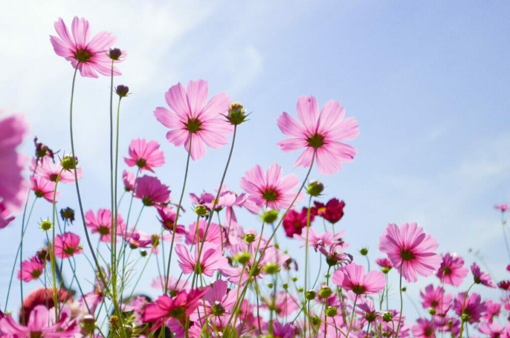 Do Cosmos Attract Pollinators?