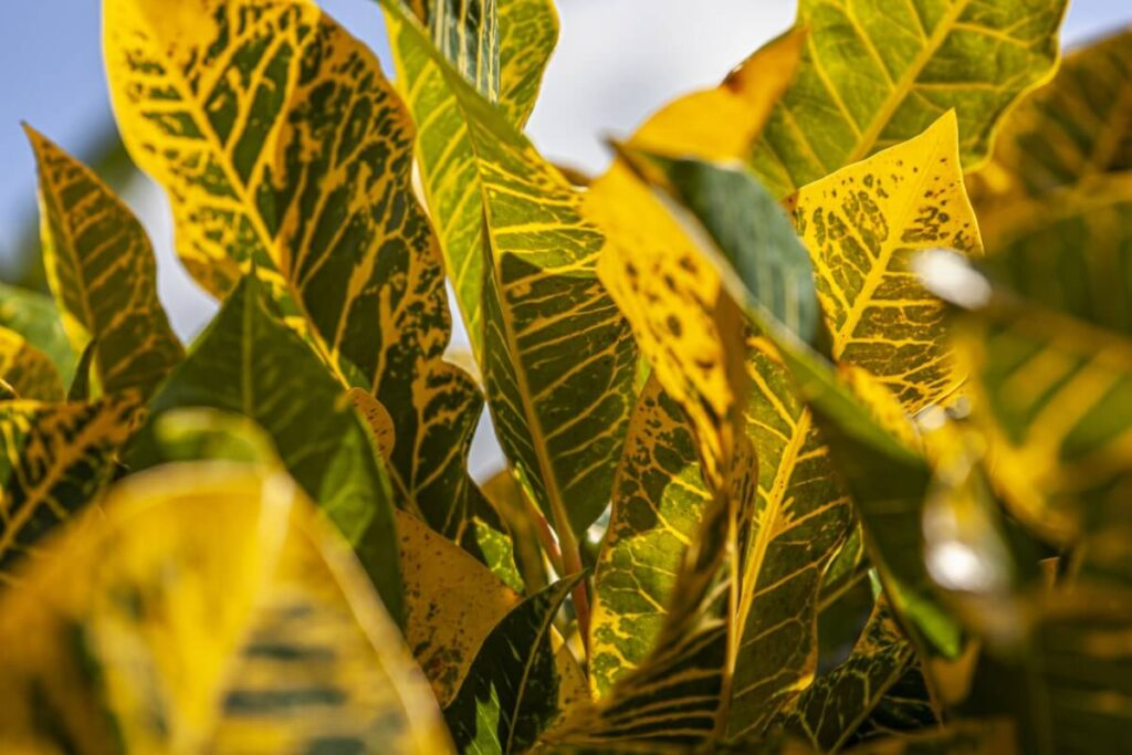 Dull Leaves