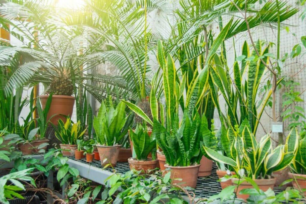 Feeding and Fertilizing Your Snake Plant