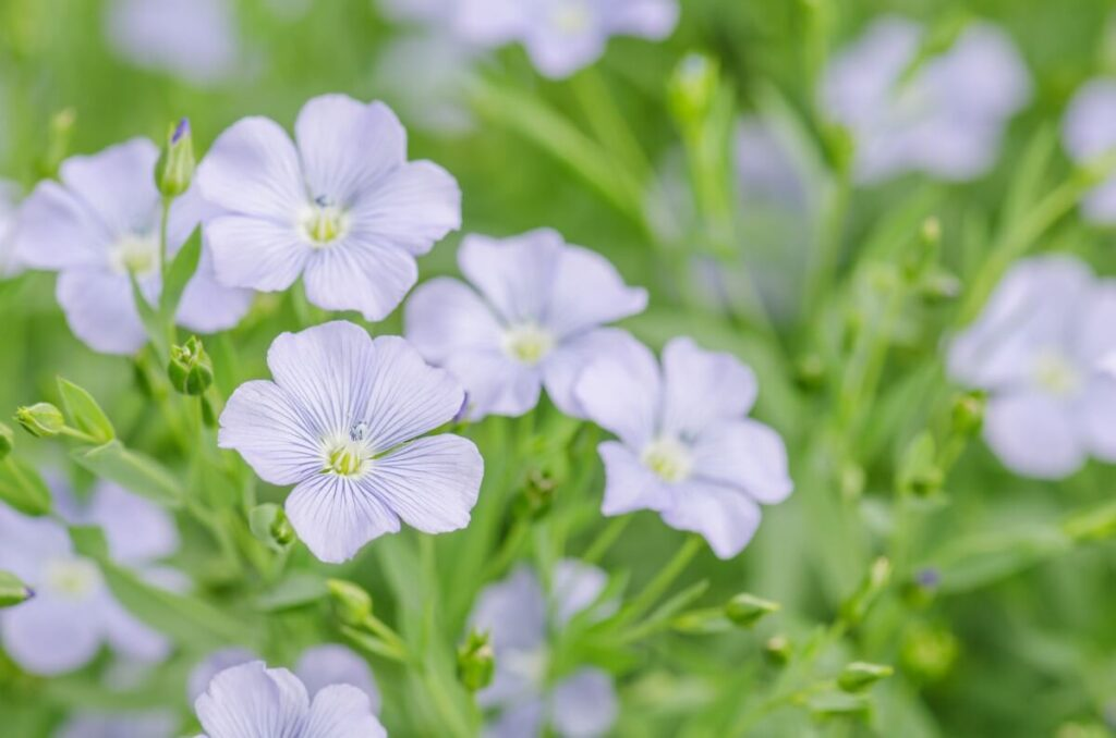 Flax Flowers in Ancient Egypt