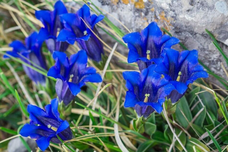 Gentian Flower (Gentiana)