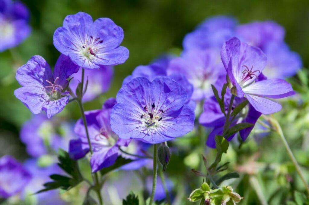 Geranium Rozanne Botanical Characteristics