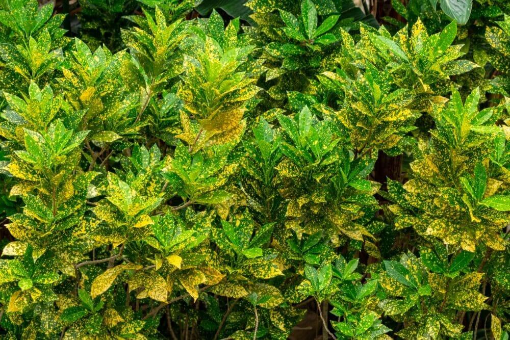 Gold Dust Croton (Codiaeum variegatum 'Gold Dust')