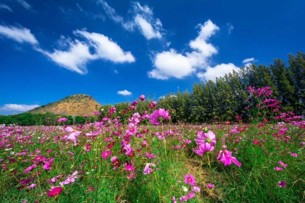 Greek Culture and Cosmos Flowers