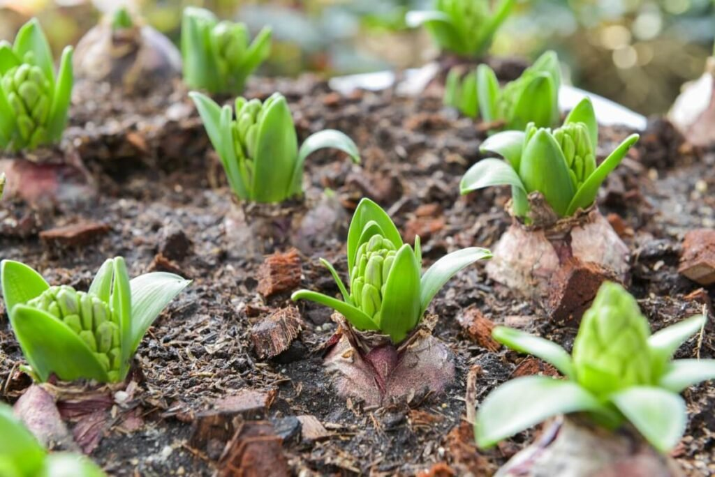 Growing Amaryllis Plants from Seed vs. Young Nursery Plants