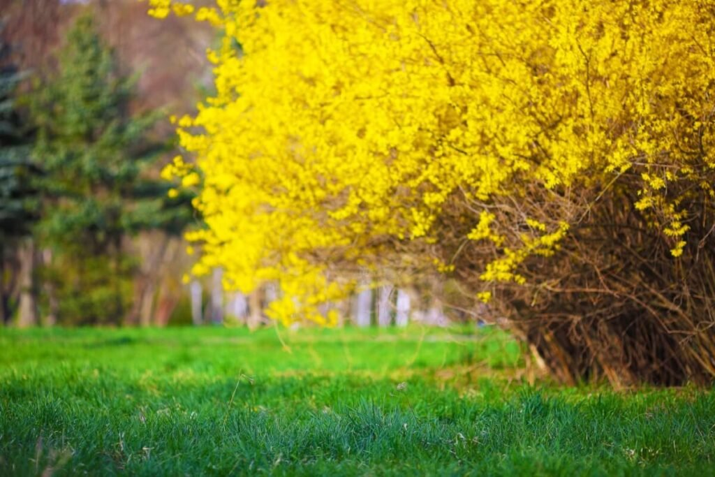 Growing Forsythia Lynwood Gold from Seed vs. Young Nursery Plants