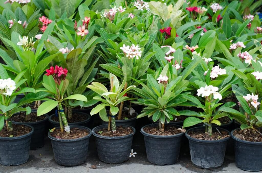 Growing Plumeria Plants from Seed vs. Young Nursery Plants