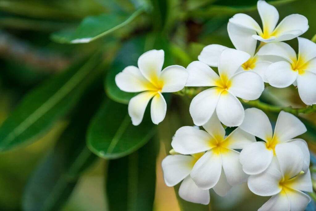 Growth Expectations for Plumeria