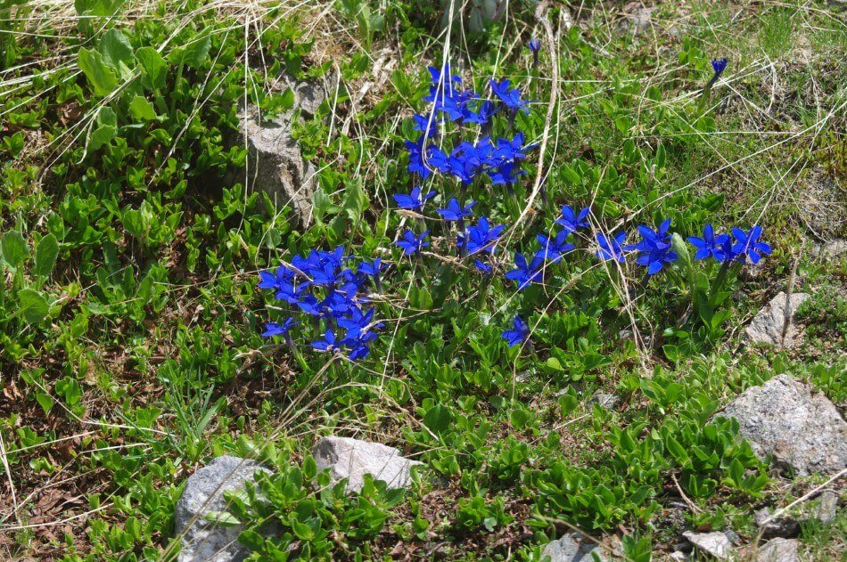 Harvestbells (Gentiana saponaria)