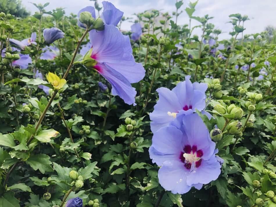 Hibiscus (Hibiscus syriacus)