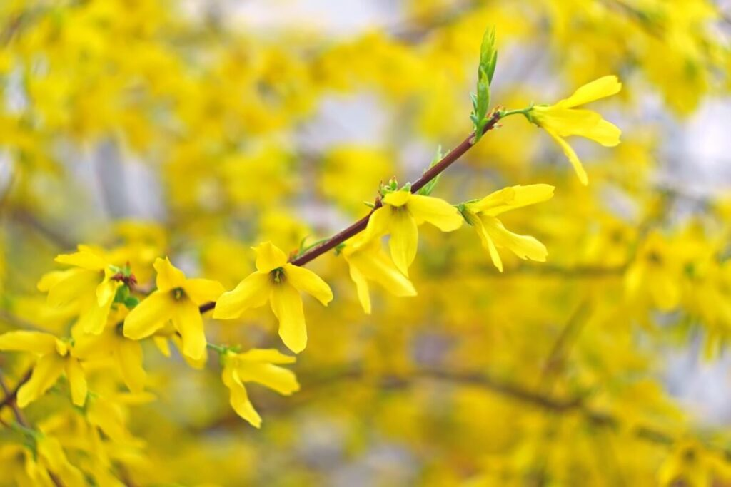 History & Origins of Forsythia Flowers