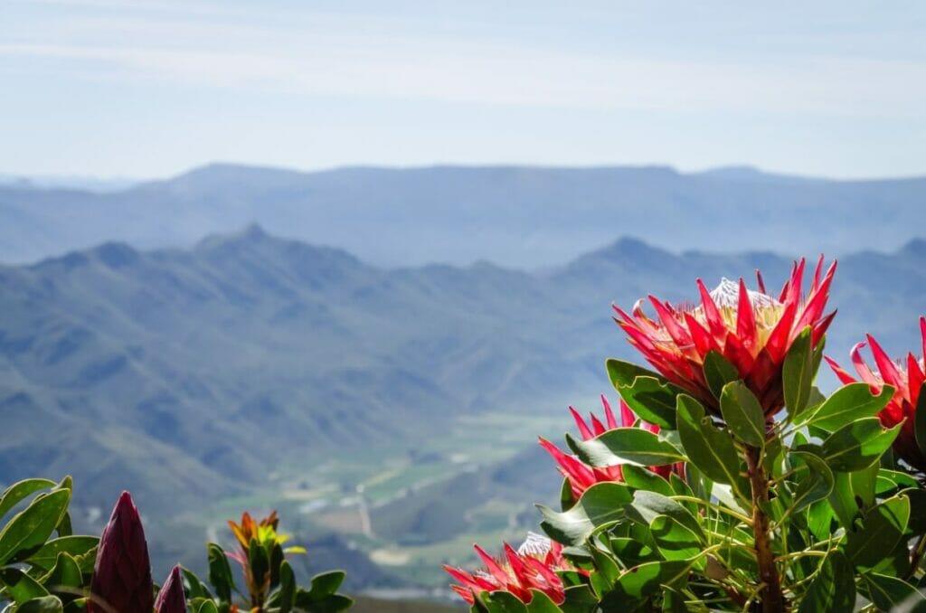 History & Origins of Protea Flowers