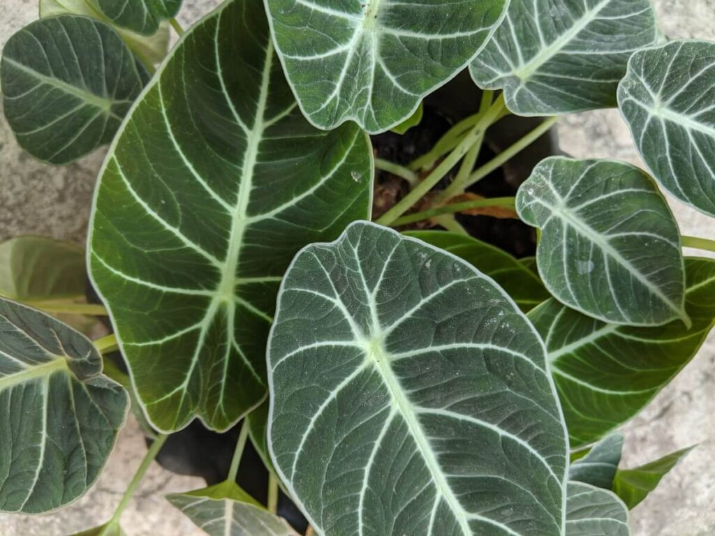 How to Care for Alocasia Black Velvet at Home