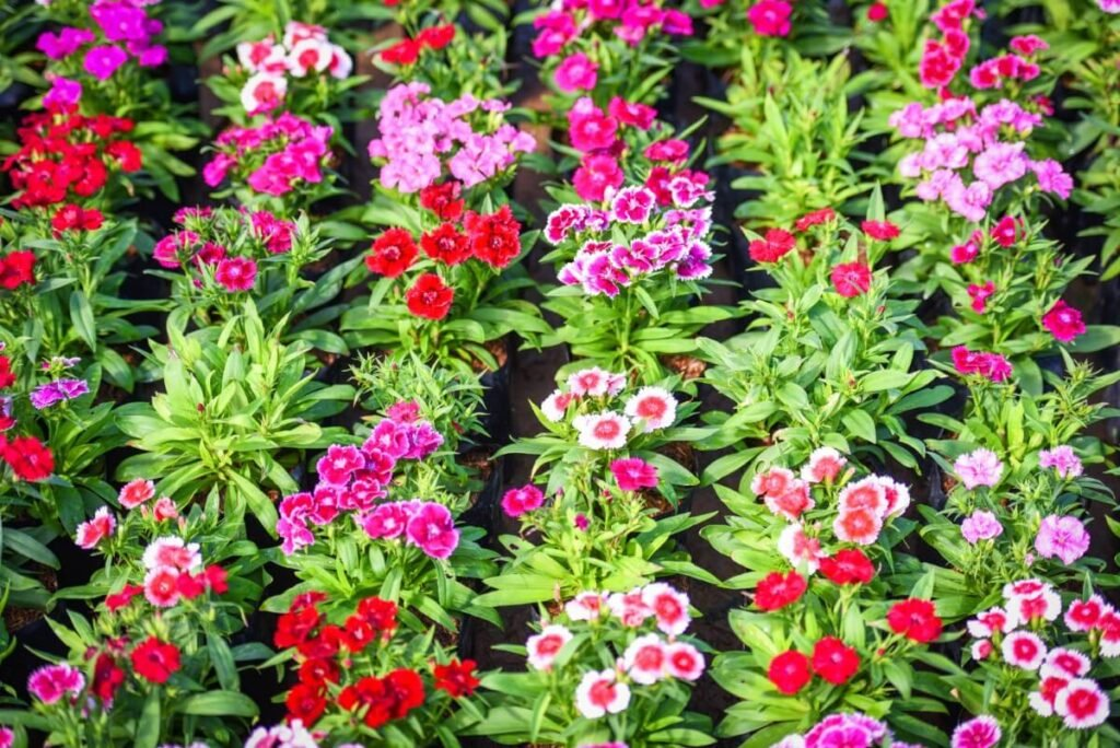 How to Care for Dianthus chinensis