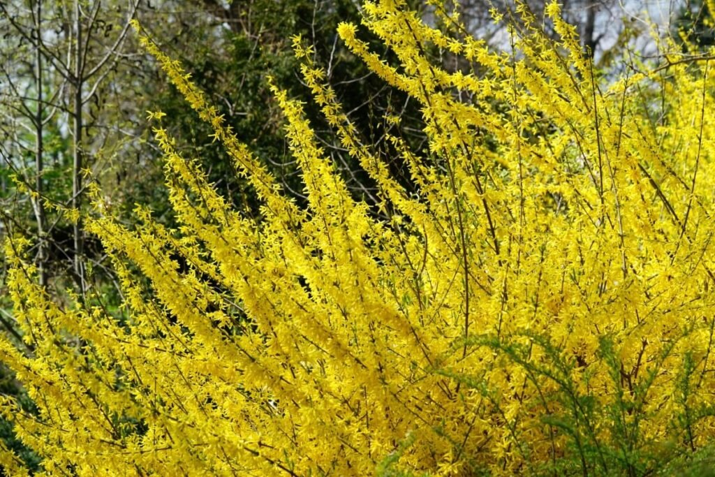 How to Care for Forsythia Lynwood Gold