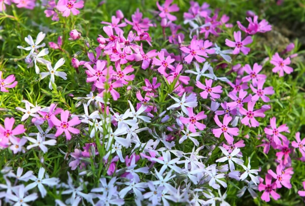 How to Care for Phlox Subulata