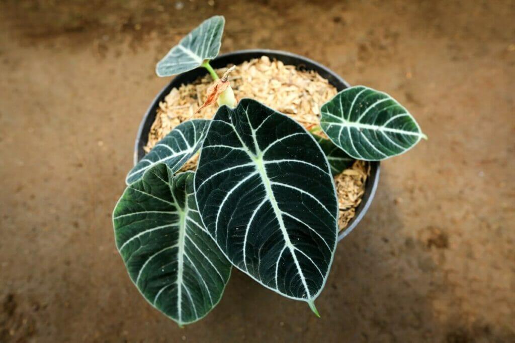 How to Grow Alocasia Black Velvet Plants at Home