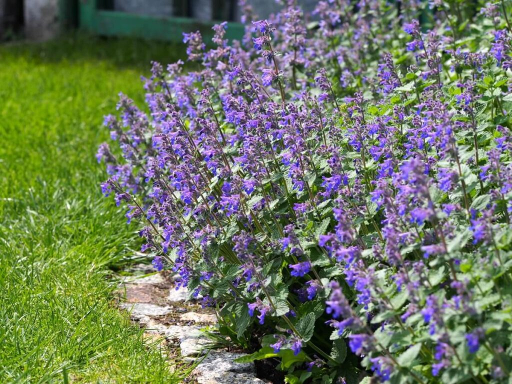 How to Grow Catnip (Nepeta)