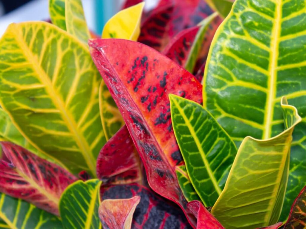 How to Grow Croton Plants at Home