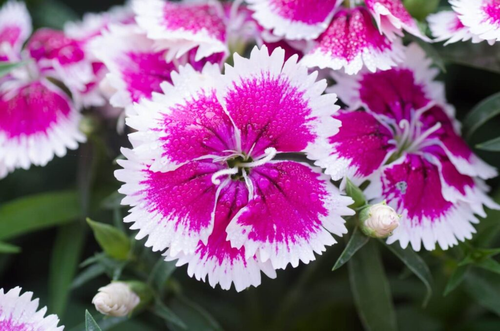 How to Grow Dianthus chinensis (Chinese Pink)
