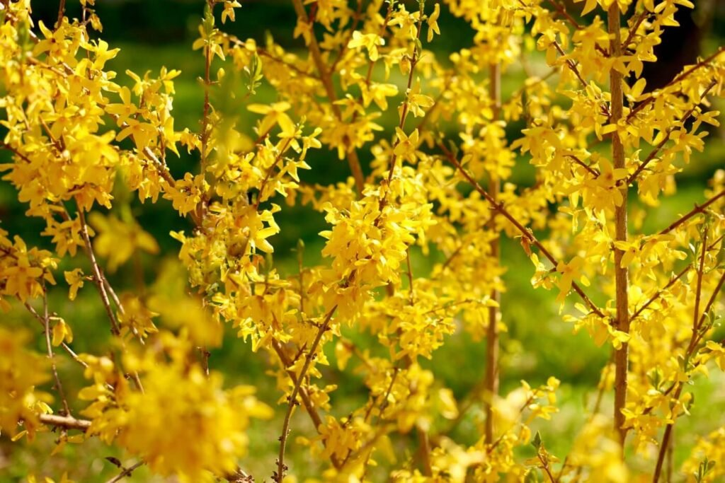 How to Grow Forsythia Lynwood Gold at Home