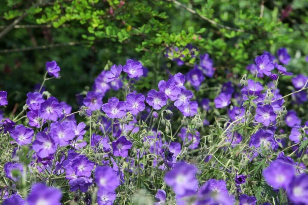 How to Grow Geranium Orion