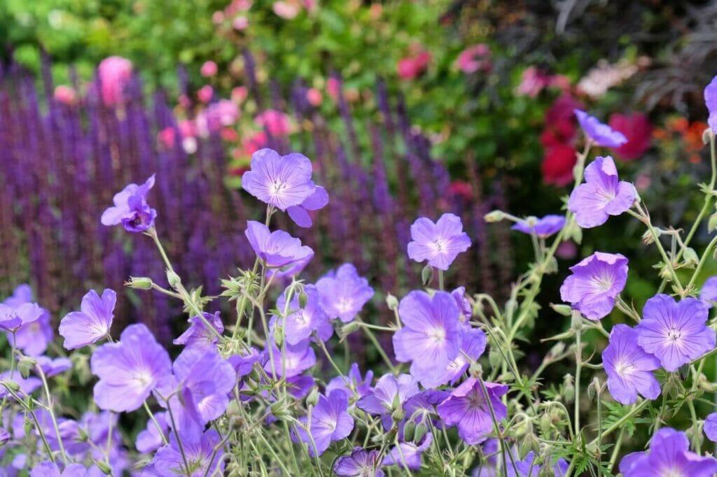How to Grow Geranium Orion (Essential Tips)