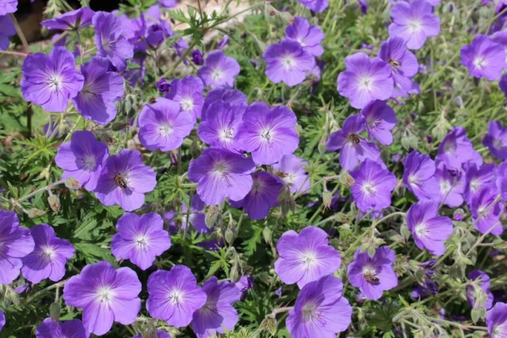 How to Grow Geranium Rozanne