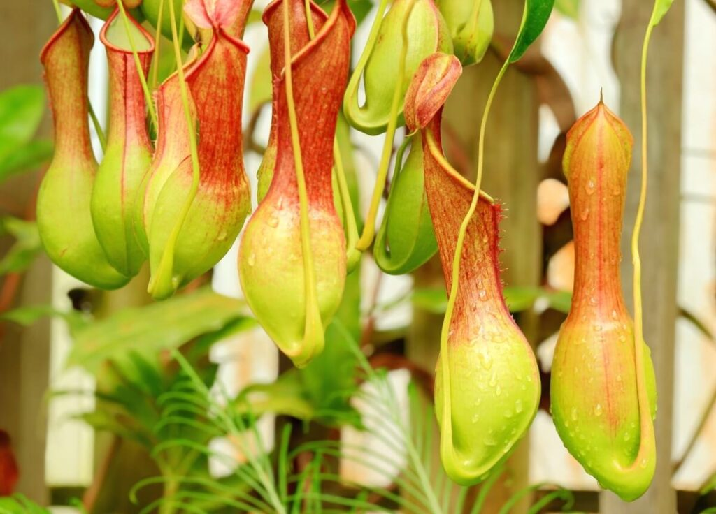 How to Grow Pitcher Plants at Home
