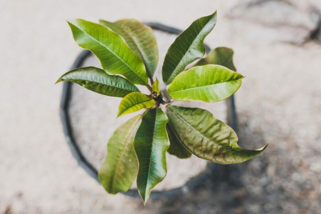 How to Grow Plumeria