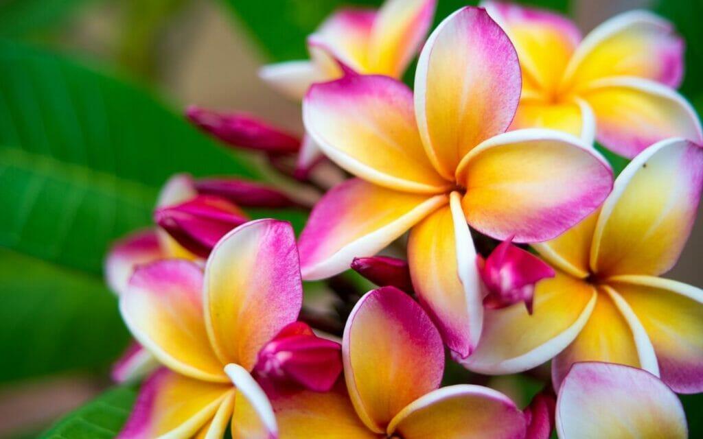 How to Grow Plumeria (Frangipani) - Essential Tips