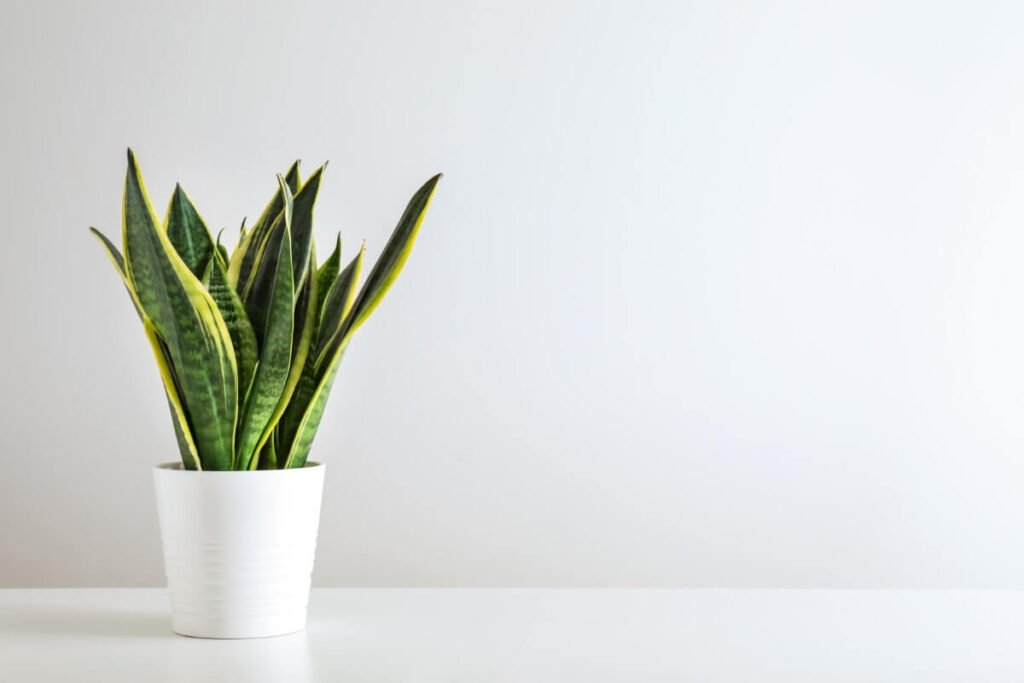 How to Grow Snake Plants at Home
