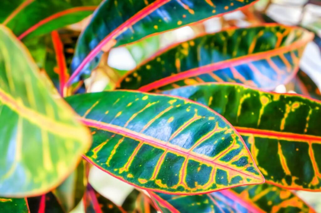 How to Grow and Care for Croton Plants at Home (Essential Tips)