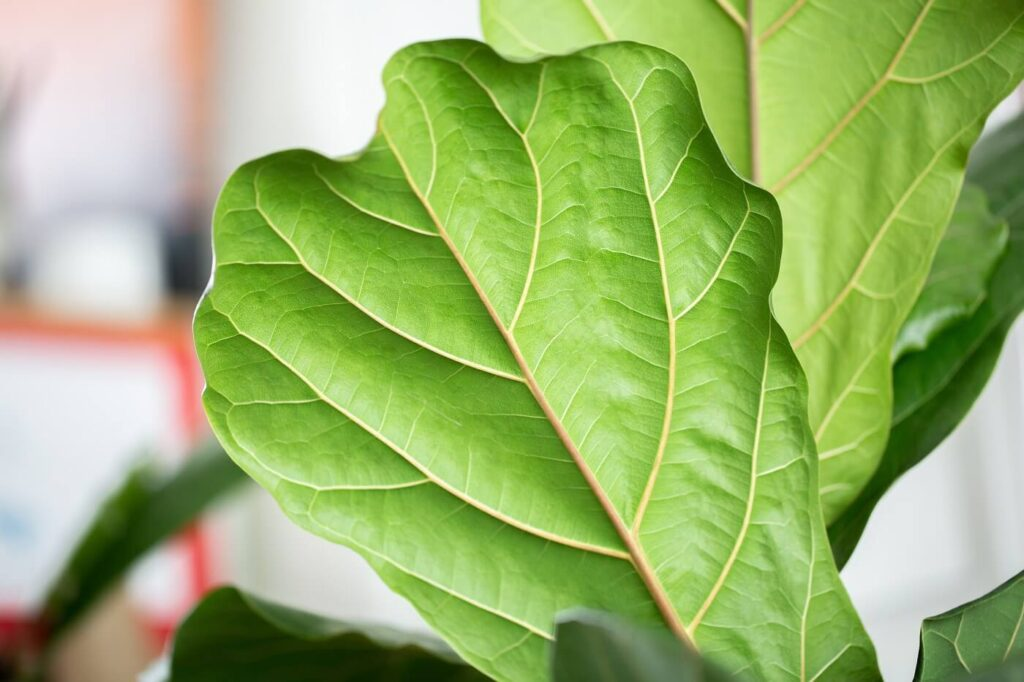 How to Grow and Care for Fiddle Leaf Fig Trees at Home