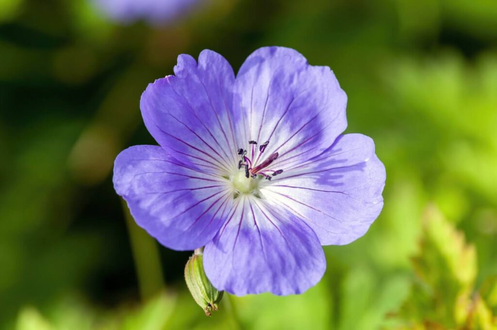 How to Grow and Care for Geranium Rozanne