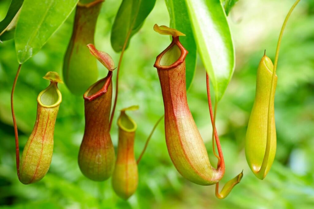 How to Grow and Care for Pitcher Plants at Home (Essential Guide)