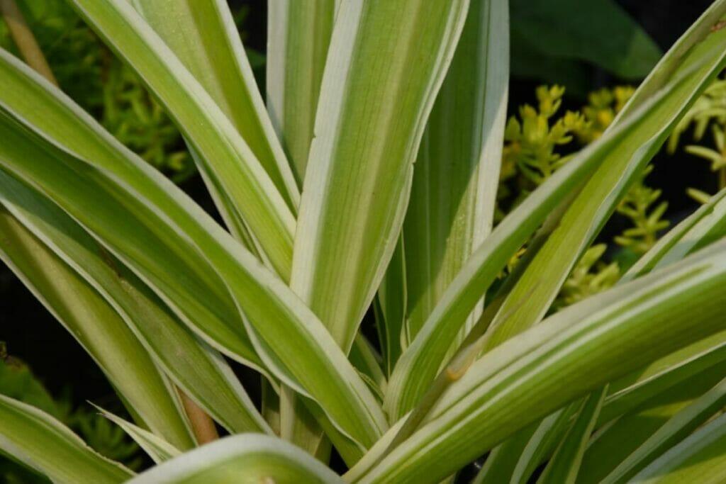 Kenya Hyacinth (Sansevieria parva)