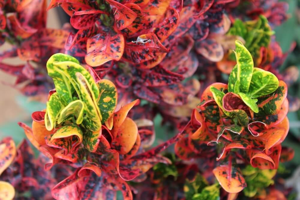 Mammy Croton (Codiaeum variegatum 'Mammy')
