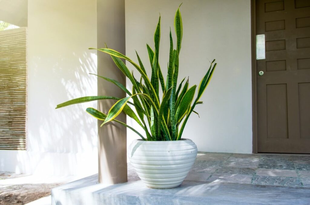 Mother-in-law's Tongue (Sansevieria trifasciata)