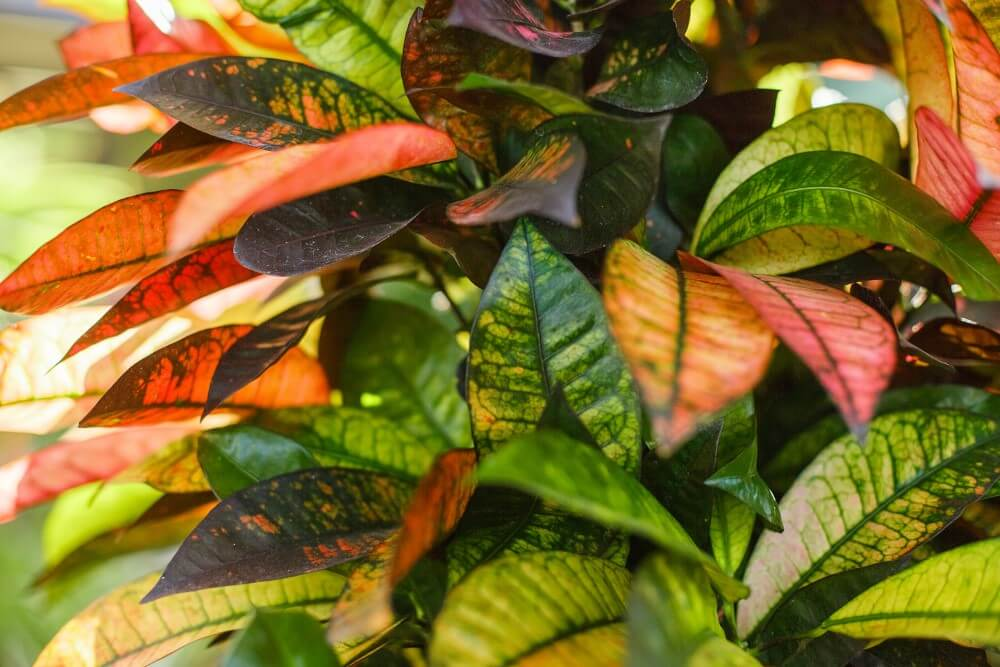 Mrs. Iceton Croton (Codiaeum variegatum 'Mrs. Iceton')